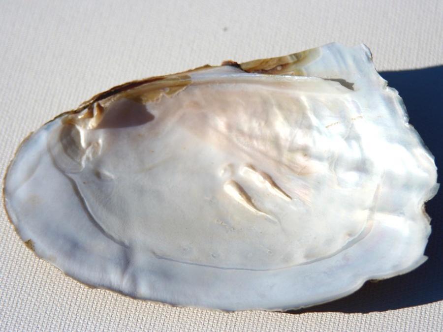 """צדף-""""אם הפנינה"""". מהאוסף של אומנות ורוח www.art-with-spirit.com צילום: גל אבירז"""