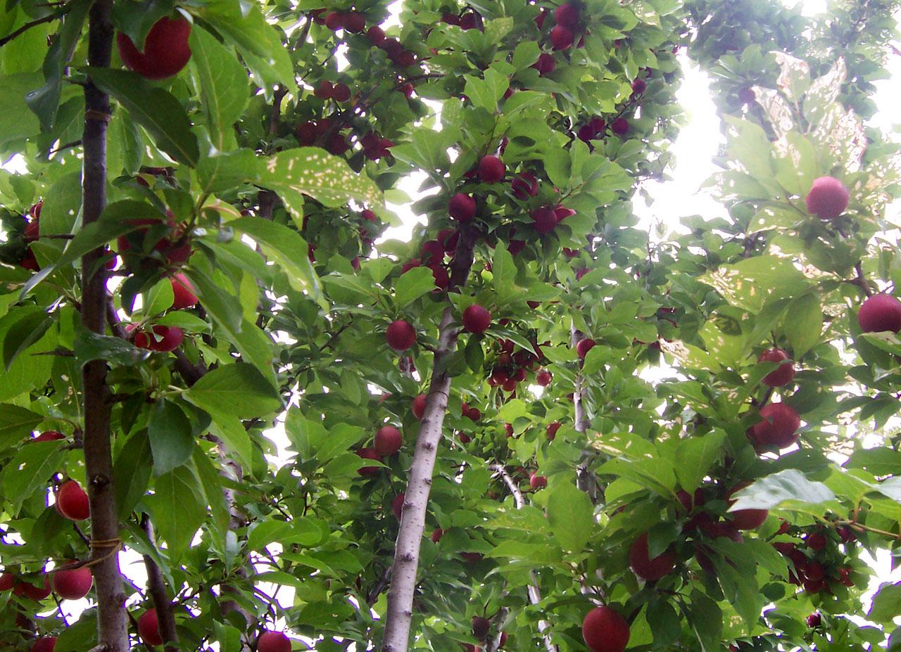 עצי פרי, הדרך לגן-העדן עלי אדמות עוברת דרכם. התמונה נלקחה מוויקיפדיה.