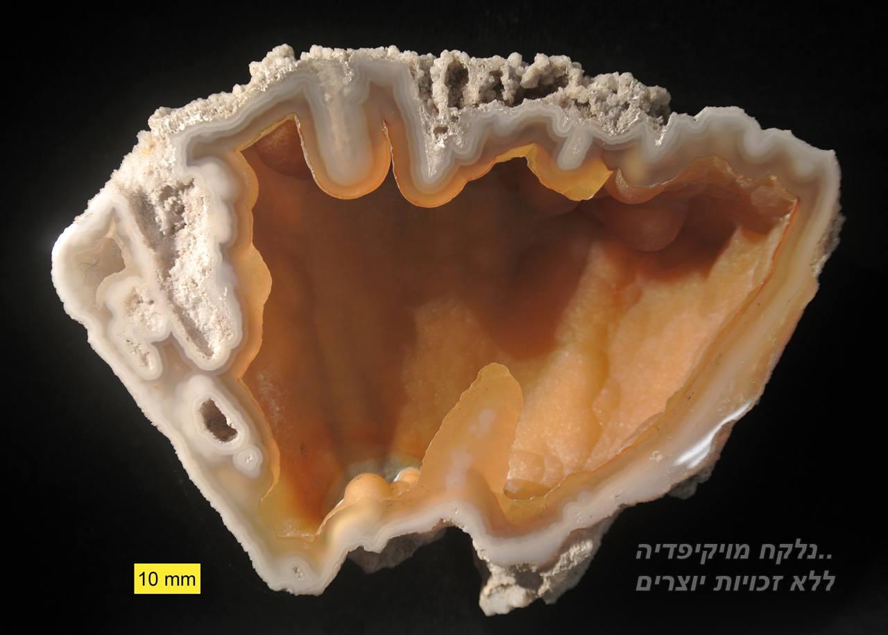 אבן קורל מאובנת בשילוב אגת. האבן הרשמית של מדינת פלורידה. נלקח מויקיפדיה. Fossil_agatized_coral_Florida