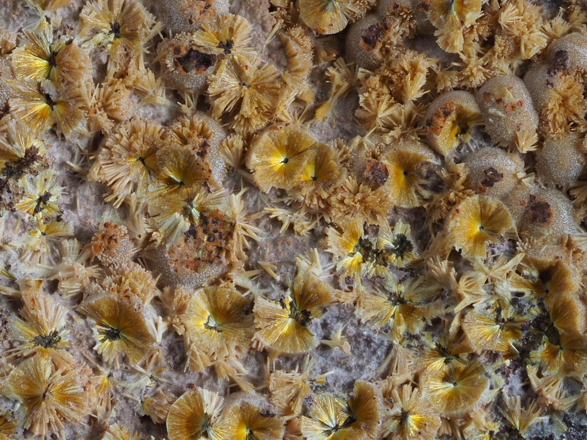 """מצע יפהפה של אבני קקוקסנייט מצ'כיה. התמונה ממאגר """"דפוזיט"""". Radial aggregates of yellow cacoxenite mineral from Trenice, Czech Republic on black background"""