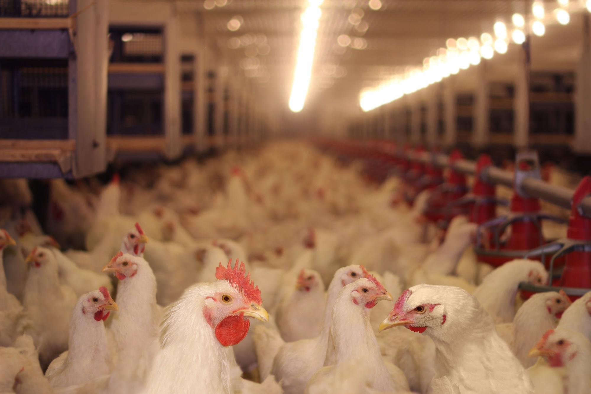 אפרוחים גדולי גוף בחוות פטם: תרנגולים של תעשיית הבשר.  גופם הושבח גנטית להיות גדול וכבד.הם יישחטו בגיל 35-40 יום של חיים בזוהמה וצפיפות.