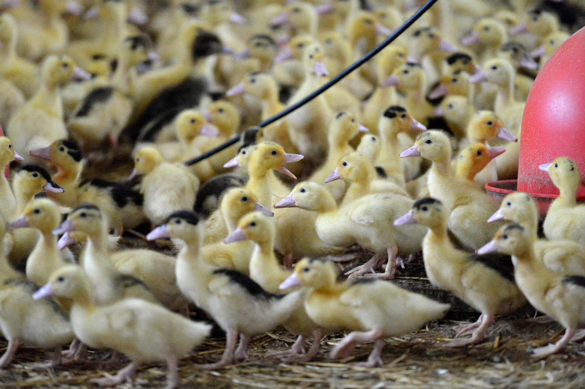 ברווזים או אווזים במשקים המתועשים חיים בצפיפות, גופם הושבח גנטית להיות ענק, והם יישחטו בגיל של מספר שבועות לאחר חיי יתמות קצרים.