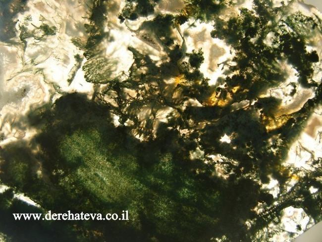 תמונת תקריב של אגת מוס. מהאתר של 'דרך הטבע' בבאר-שבע  www.derehateva.co.il