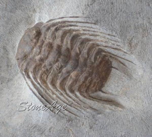 טרילובייט. מאובן של יצור ימי פרה-היסטורי. מהאתר של החנות סטונאייג'  www.stoneage.co.il צילום: שני תודר photo: Shani Toder