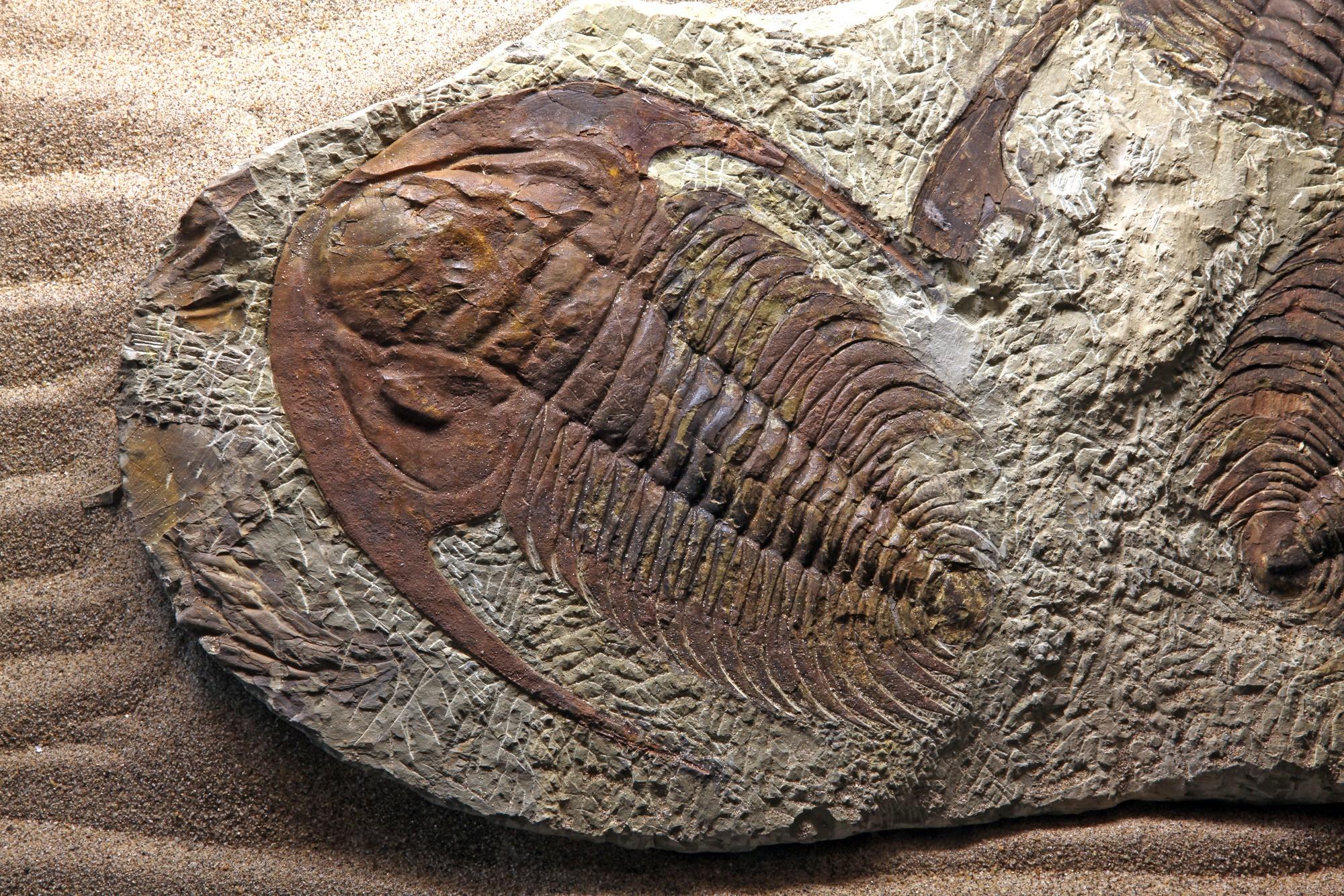 """מאובן של טרילובייט, יצור ימי פרה-היסטורי. התמונה ממאגר """"דפוזיט"""" From """"Deposit"""" Photos"""
